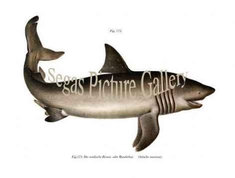 Fine art print of the Basking Shark